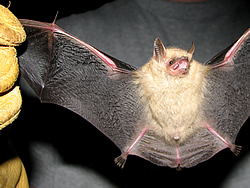 An Eastern pipistrelle bat being held with its wings spread.