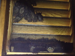 Bats in an attic vent in Birmingham, Alabama